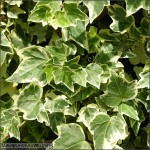 Hedera helix white ripple
