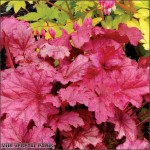 Heuchera red