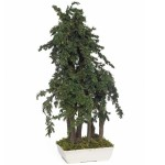 Bonsai juniperus bleu pacific stabilisé grand