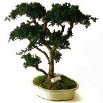 Bonsai juniperus stabilisé grand