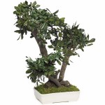 Bonsai pittosporum tobira stabilisé moyen